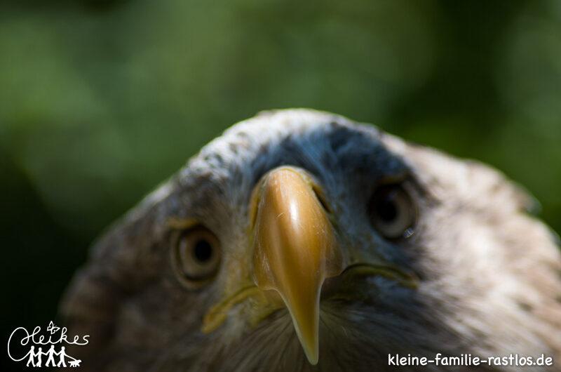Flugvorführung im Greifvogelpark-Grafenwiesen